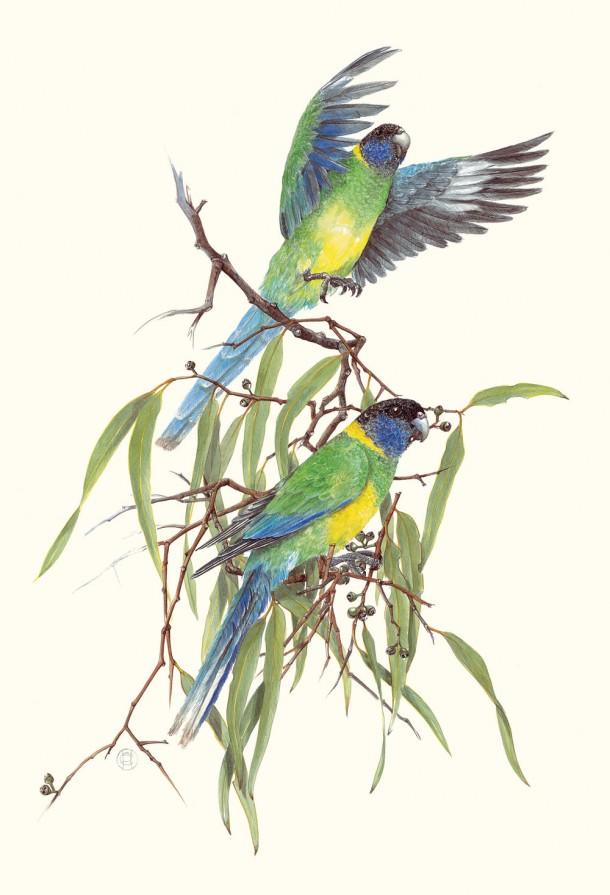 Port Lincoln Parrots