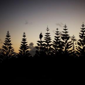 Norfolk pines on dusk