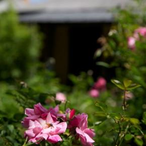 China pink roses